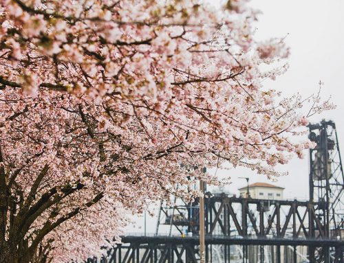 Cherry Blossoms Back in Portland